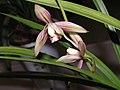建蘭粉斑藝 Cymbidium ensifolium Leaf-art-series -香港沙田國蘭展 Shatin Orchid Show, Hong Kong- (9252408321).jpg