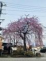 普門院の糸桜.jpg