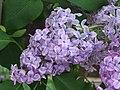 歐洲丁香 Syringa vulgaris -荷蘭 Keukenhof Flower Show, Holland- (9200909676).jpg