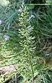 溚草 Koeleria macrantha -維也納大學植物園 Vienna University Botanical Garden- (27597496763).jpg