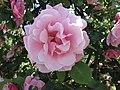 玫瑰 Rosa Mme Gregoire Staechelin -巴黎植物園 Jardin des Plantes, Paris- (9163794593).jpg