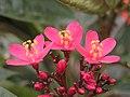 琴葉珊瑚花(日日櫻) Jatropha integerrima (Jatropha pandurifolia) -香港迪士尼樂園 Hong Kong Disneyland- (9207615018).jpg