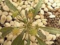 綿葉琉桑 Dorstenia crispa -泰國清邁花展 Royal Flora Ratchaphruek, Thailand- (9219892751).jpg