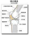 膝の内部構造(右内側).PNG