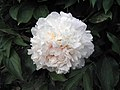 芍藥-昆山霞光 Paeonia lactiflora 'Dawn Sunlight of Kunshan' -北京植物園 Beijing Botanical Garden, China- (12380295873).jpg