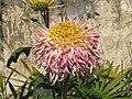 菊花(匙桂型)-紫托桂 Chrysanthemum morifolium Inner-floret-spoon-series -香港圓玄學院 Hong Kong Yuen Yuen Institute- (9198170359).jpg