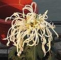 菊花-碧玉松針 Chrysanthemum morifolium 'Greenish Jade Pine Needles' -中山小欖菊花會 Xiaolan Chrysanthemum Show, China- (12027175466).jpg
