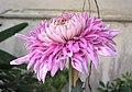 菊花-美艷 Chrysanthemum morifolium 'Dazzlingly Beautiful' -香港圓玄學院 Hong Kong Yuen Yuen Institute- (12064916873).jpg