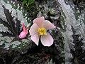 蛤蟆秋海棠 Begonia rex Lucky Colours -香港公園 Hong Kong Park- (9193424264).jpg