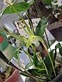 蜘蛛石斛-白變種 Dendrobium tetragonum v alba -香港沙田洋蘭展 Shatin Orchid Show, Hong Kong- (9252461205).jpg