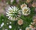 車軸草屬 Trifolium montanum -波蘭華沙 Powsin PAN Botanical Garden, Warsaw- (36396103432).jpg
