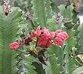 龍骨 Euphorbia lactea -香港花展 Hong Kong Flower Show- (9207641974).jpg