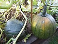 -2019-08-23 Field pumpkin, Trimingham, Norfolk (3).JPG