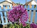 -2020-05-20 Allium, Trimingham, Norfolk.JPG