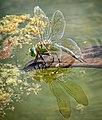 0023 female dragonfly laying eggs (21276067892).jpg