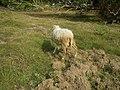 0306Sheep–goat hybrids 01.jpg
