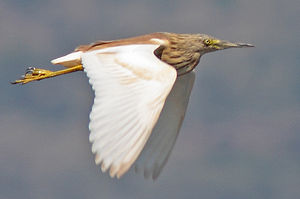 Squacco heron - Flying in Greece