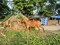 09409jfCattle goats grasslands Roads San Miguel, Bulacanfvf 04.jpg