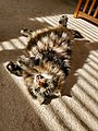 11-YEAR-OLD-MAINE-COON-MIX.jpg