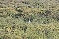 141 - Cap Virgenes - Manchot de Magellan - Janvier 2010.JPG