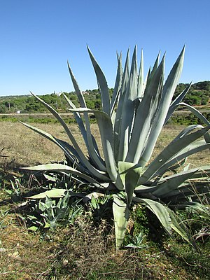 14 November 2016, Century plant or Maguey (Agave Americana), Mosqueira.JPG
