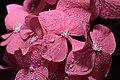 191-365 Hortensia Flor (14434616348).jpg