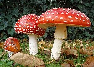 300px-2006-10-25_Amanita_muscaria_crop.j