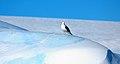 2007 Snow-Hill-Island Luyten-De-Hauwere-Bird-05.jpg