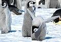 2007 Snow-Hill-Island Luyten-De-Hauwere-Emperor-Penguin-101.jpg