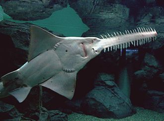 Sawfish - The whitish underside of a largetooth sawfish showing its nostrils (near the base of the saw), mouth, and two rows of gill slits (at the base of either pectoral fin)