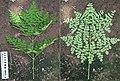 2011.06-382-550,551 Drumstick tree(Moringa oleifera),lf,e-s greenhouse Radix Serre@Wageningen University,NL fri24jun2011.jpg