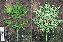 moringa oleifera boom kopen