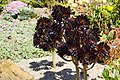 2012-05-26 05-28 Mendocino County 043 Fort Bragg, Mendocino Coast Botanical Gardens.jpg