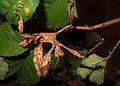 2012-09-12 16-03-38-Extatosoma tiaratum.jpg