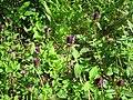 20120716Prunella vulgaris2.jpg