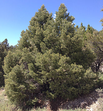 Pinus monophylla - A tree on Spruce Mountain, Nevada, in June