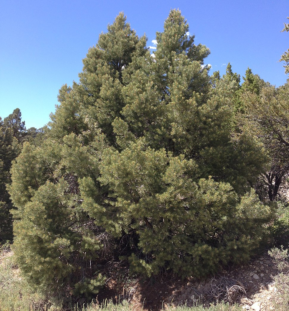 2013-06-27 14 53 26 Single-leaf Pinyon on Spruce Mountain, Nevada