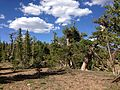2013-07-12 16 47 38 Subalpine fir and Whitebark Pine along the ridgeline of the Copper Mountains, Nevada.jpg
