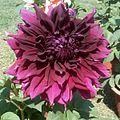 2013.04 Dahlia hybrid 1.jpg