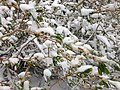 2014-06-17 09 21 21 Snow in June on a Willow with new foliage and catkins along the upper portion of Lamoille Canyon Road in Lamoille Canyon, Nevada.jpg