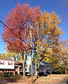 2014-10-30 11 18 14 Red Maples during autumn on Albans Avenue in Ewing, New Jersey.JPG