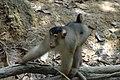 2014 Borneo Luyten-De-Hauwere-Southern Pig-tailed Macaque.jpg