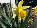 2015-04-12 11 30 51 Daffodil blooming on Terrace Boulevard in Ewing, New Jersey.jpg