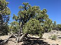 2015-04-27 12 59 55 An older Single-leaf Pinyon on the north wall of Maverick Canyon, Nevada.jpg