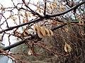 20150101Reynoutria japonica2.jpg