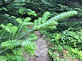2016-07-25 13 16 14 Fraser Fir foliage along the Mount Mitchell Summit Trail in Mount Mitchell State Park, North Carolina.jpg