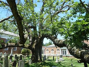Basking Ridge, New Jersey - 600 year-old historic oak tree in Basking Ridge, June 2016