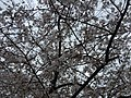 2017-04-03 16 20 49 White Flowering Cherry flowers along Ladybank Lane near Stone Heather Drive in the Chantilly Highlands section of Oak Hill, Fairfax County, Virginia.jpg