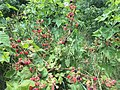 2017-07-04 12 39 58 Ripening blackberries along Stone Heather Drive in the Franklin Farm section of Oak Hill, Fairfax County, Virginia.jpg