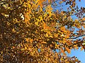 2017-11-24 13 39 32 View up into the canopy of a Pin Oak in late autumn along Ladybank Lane in the Chantilly Highlands section of Oak Hill, Fairfax County, Virginia.jpg